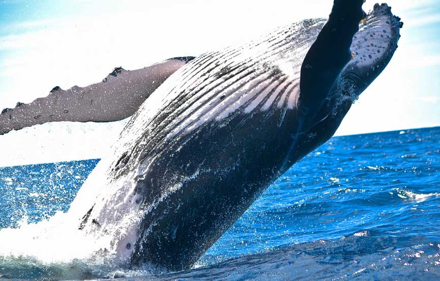 Whales in Indian Ocean